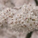 目黒川みんなの桜Photoコンテスト