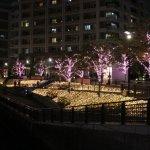 目黒川沿いで冬の桜が満開!